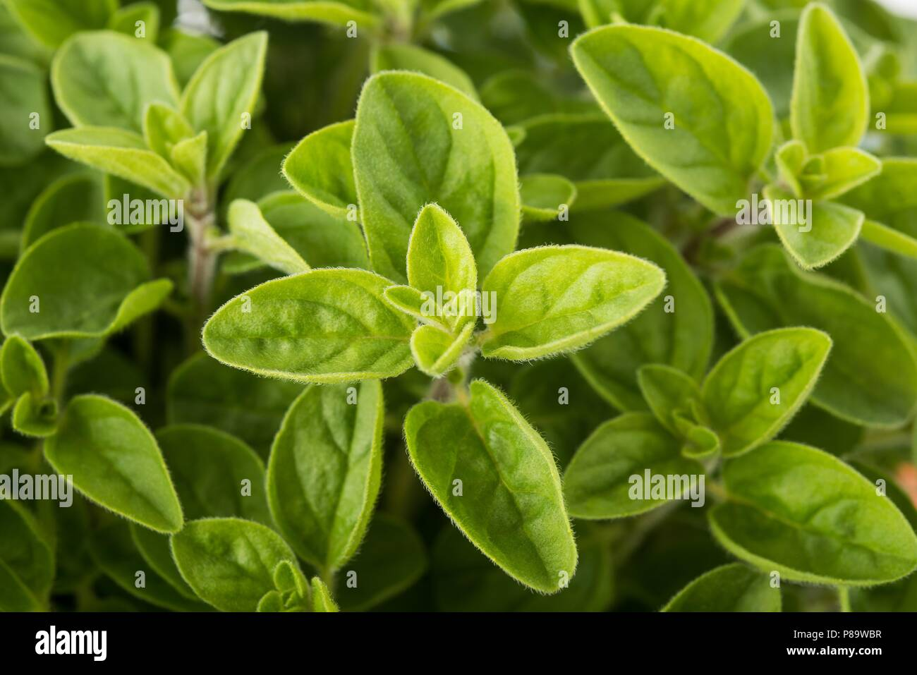 Fresh Oregano (origanum vulgare) plants  background - Stock Image