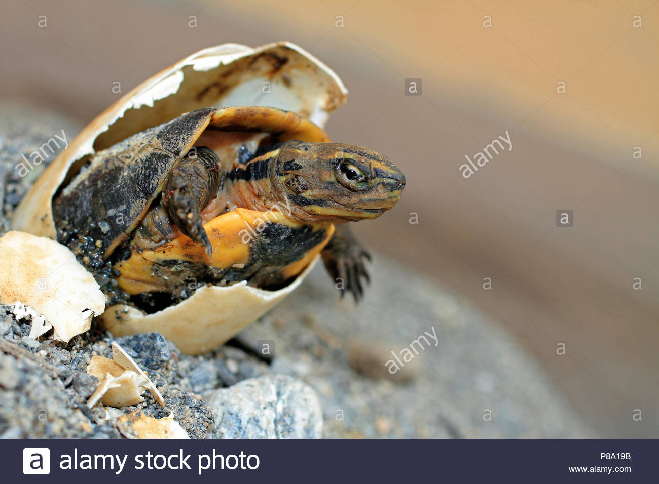Green turtle (Chelonia mydas), hatches from egg, Puerto Galera, Mindoro, Philippines - Stock Image