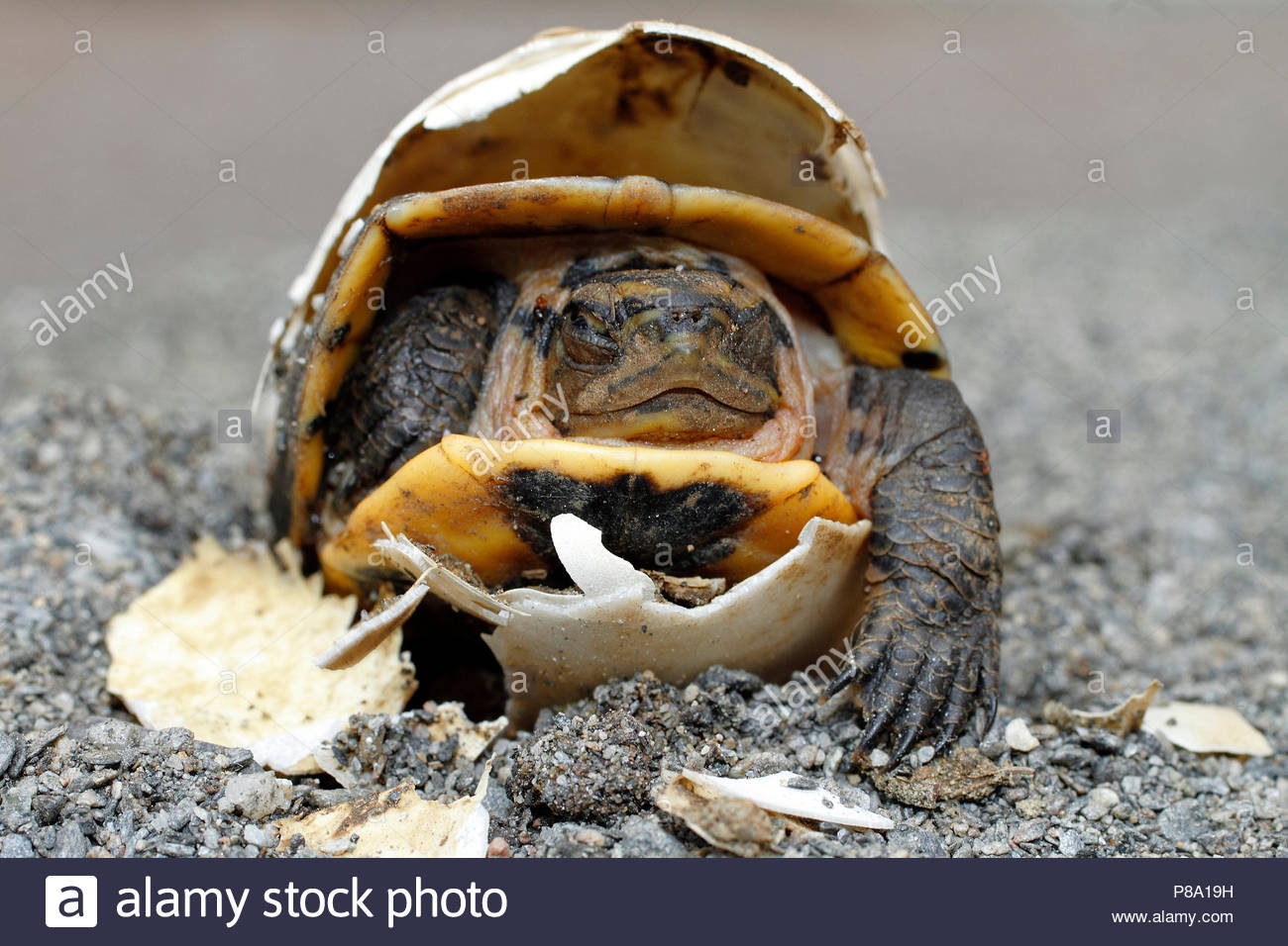 Green turtle (Chelonia mydas), hatches from egg, closed eyes, Puerto Galera, Mindoro, Philippines - Stock Image