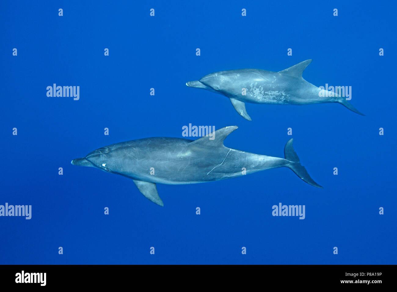 Indo-Pacific bottlenose dolphin (Tursiops aduncus), Pair, Ogasawara, Japan - Stock Image
