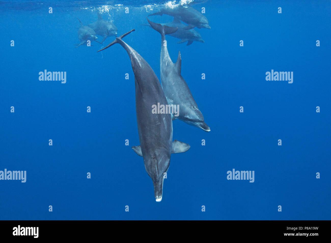 Indo-Pacific bottlenose dolphin (Tursiops aduncus), Group, Ogasawara, Japan - Stock Image