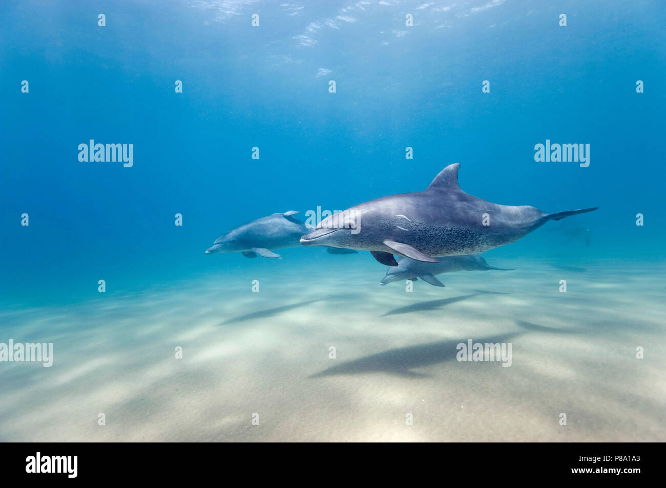 Bottlenose dolphin (Tursiops truncatus), Group, Sodwana Bay, South Africa Stock Photo