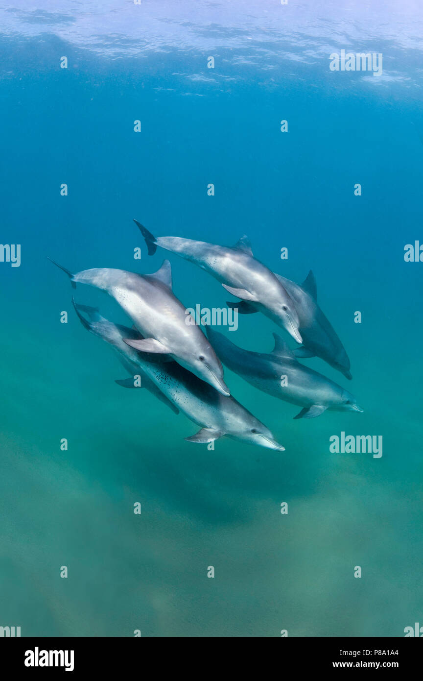 Bottlenose dolphin (Tursiops truncatus), Group, Sodwana Bay, South Africa - Stock Image