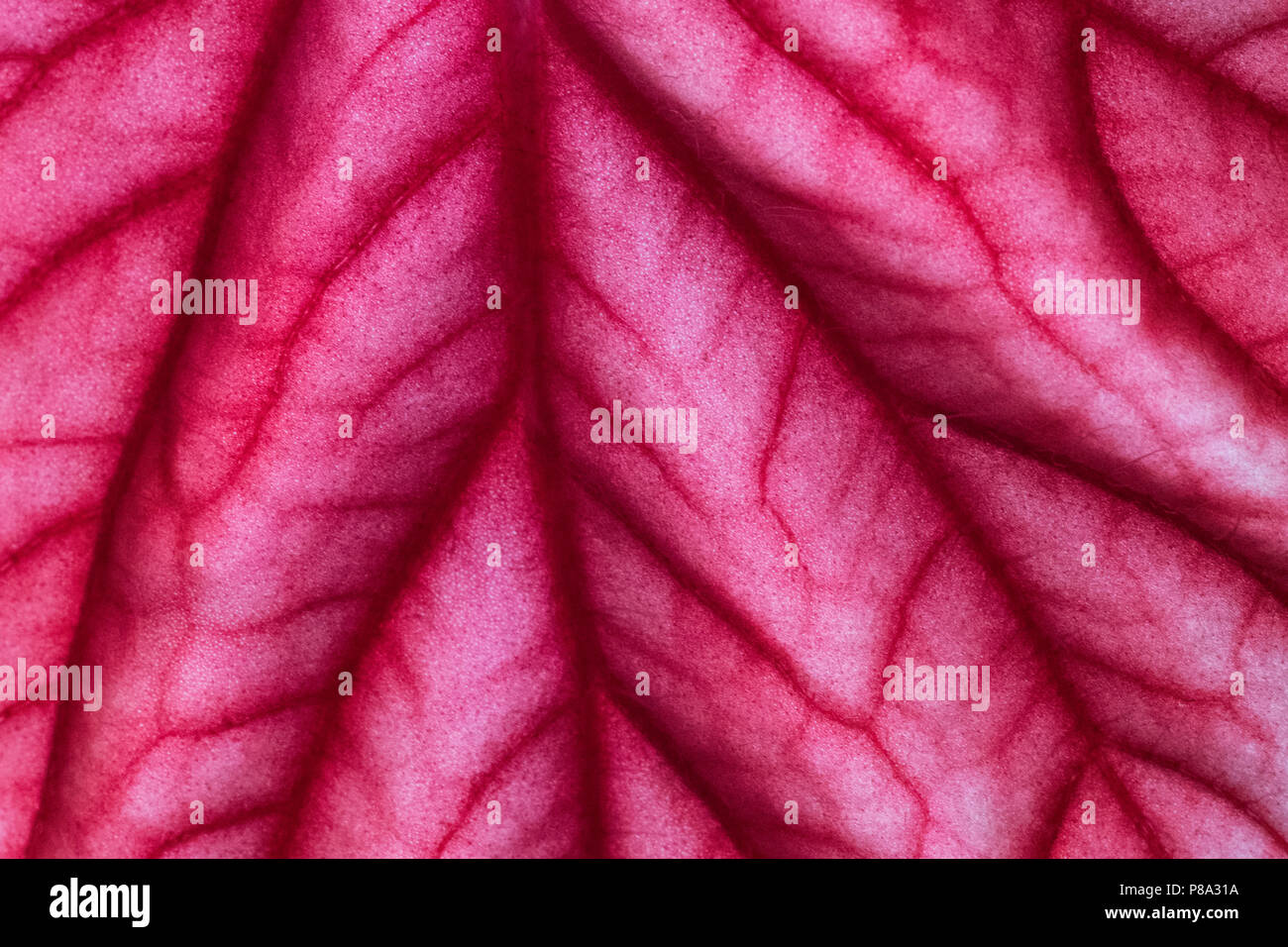 Elephant plant leaf closeup, showing the surface pores and stoma. - Stock Image
