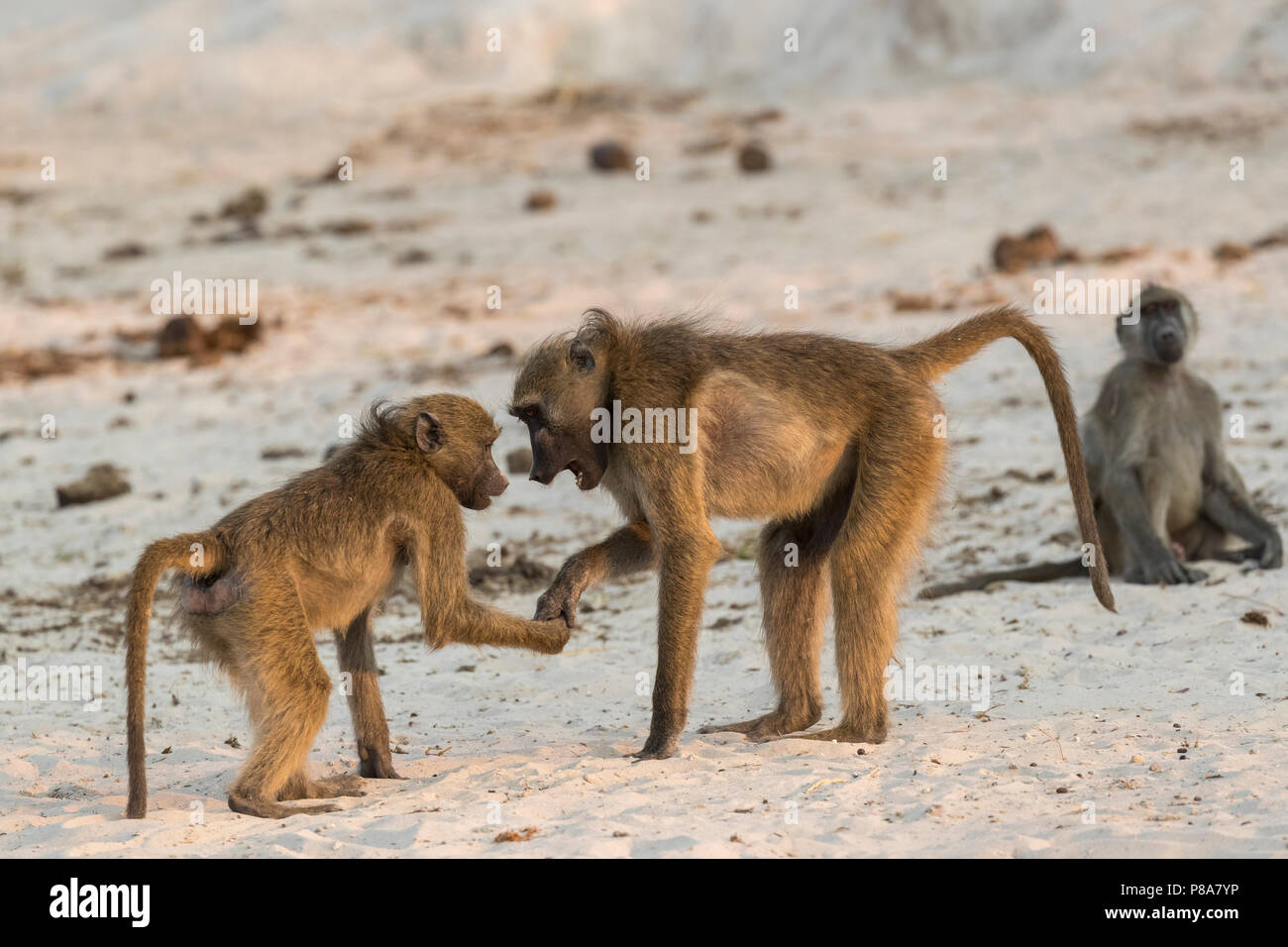 Chacma baboons (Papio ursinus) in social play, Chobe national park, Botswana, Africa - Stock Image