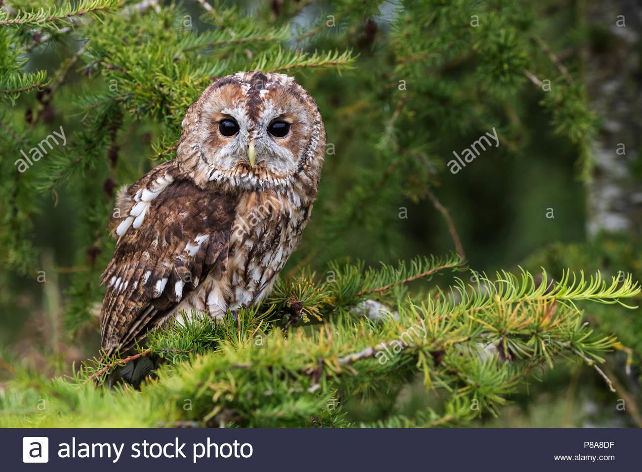 Tawny owl (Strix aluco), captive, Cumbria, UK, August 2017 - Stock Image