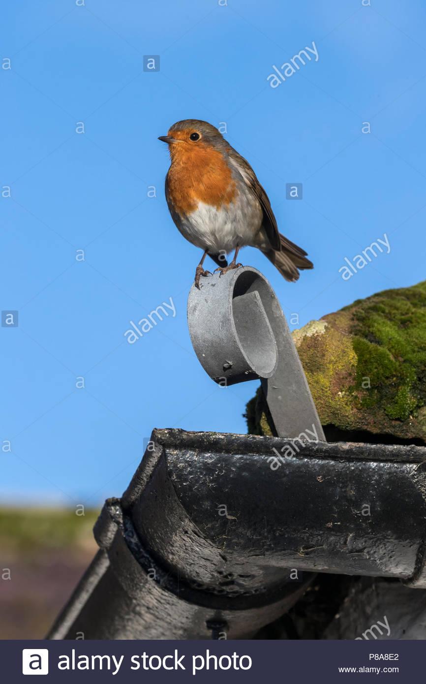 European robin (Erithacus rubecula), Caerlaverock Wildfowl and Wetland Trust reserve, Dumfries & Galloway, Scotland, UK - Stock Image