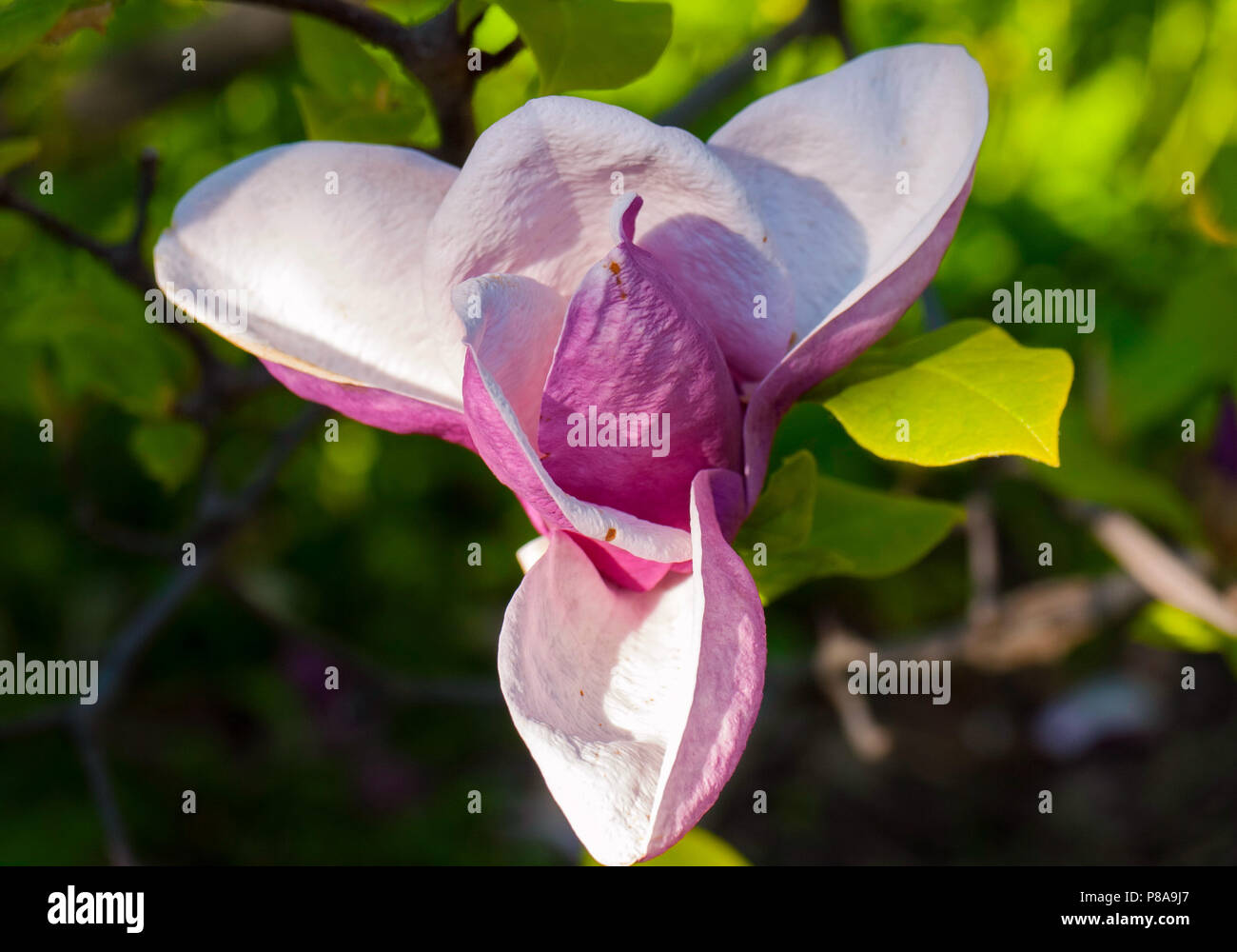 A Beautiful Lush Flower With Huge Pink Petals Shot Close Up For