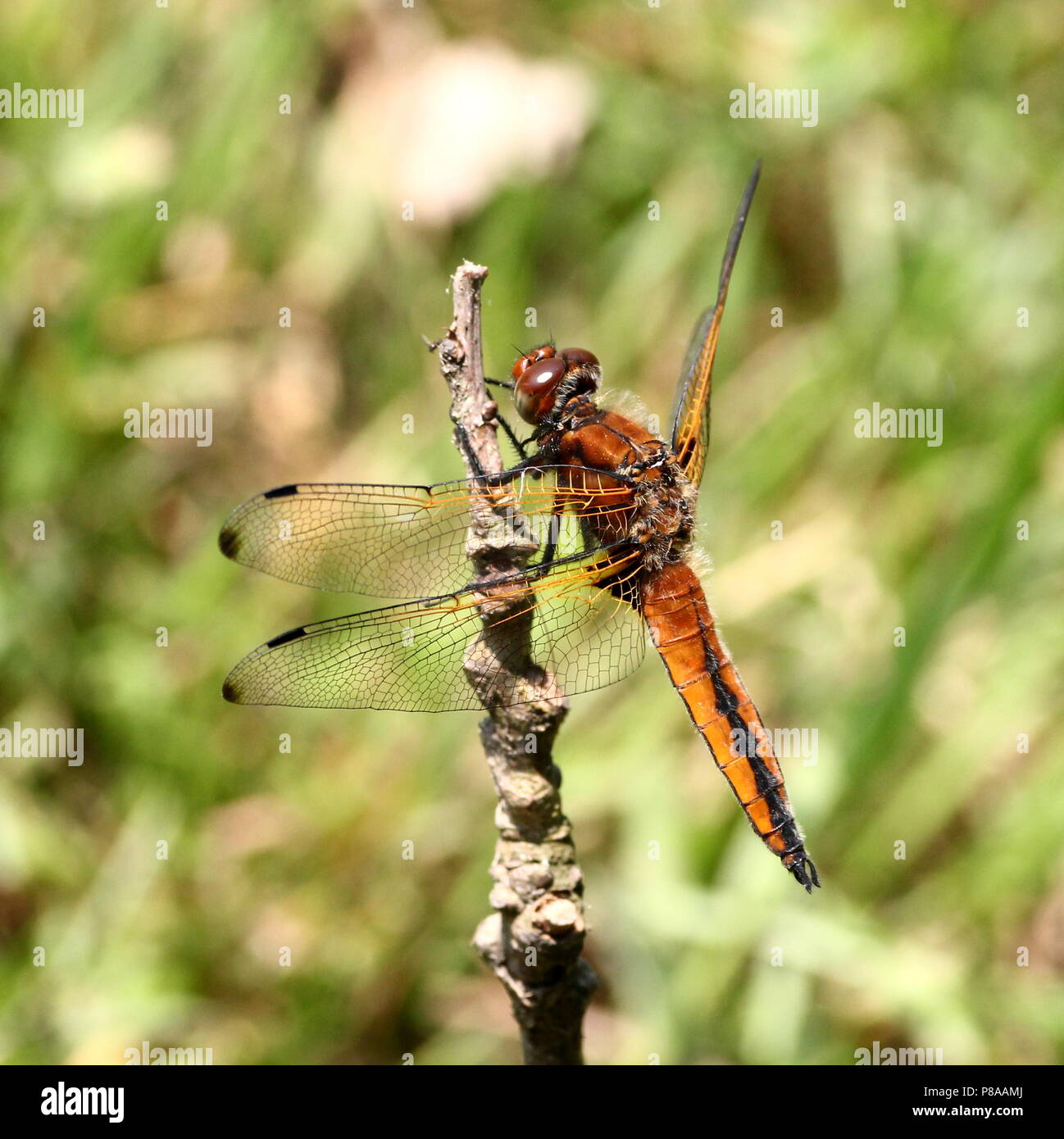 European Scarce chaser dragonfly (Libellula Fulva) in closeup Stock Photo