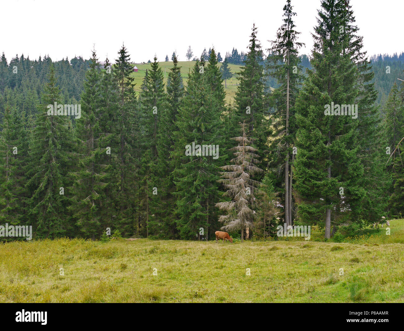 A cow grazing in the field against the background of tall green spruces . For your design - Stock Image