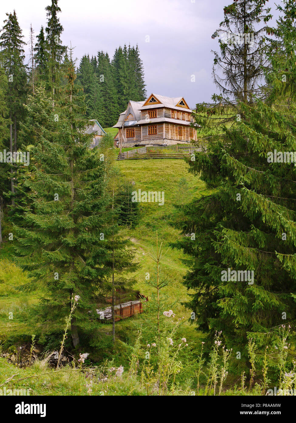 rural wooden house in 2 floors on the slope between green spruces . For your design - Stock Image