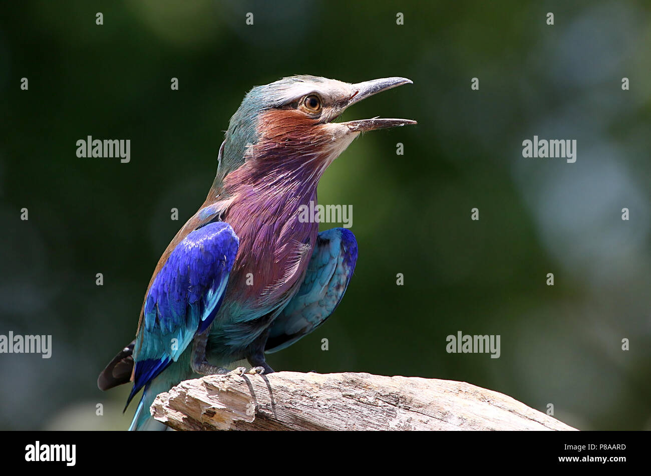 Male African Lilac breasted roller (Coracias caudatus)  in song - Stock Image
