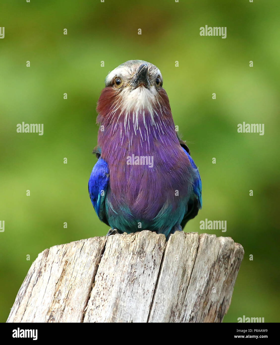 African Lilac breasted roller (Coracias caudatus) facinf forward Stock Photo