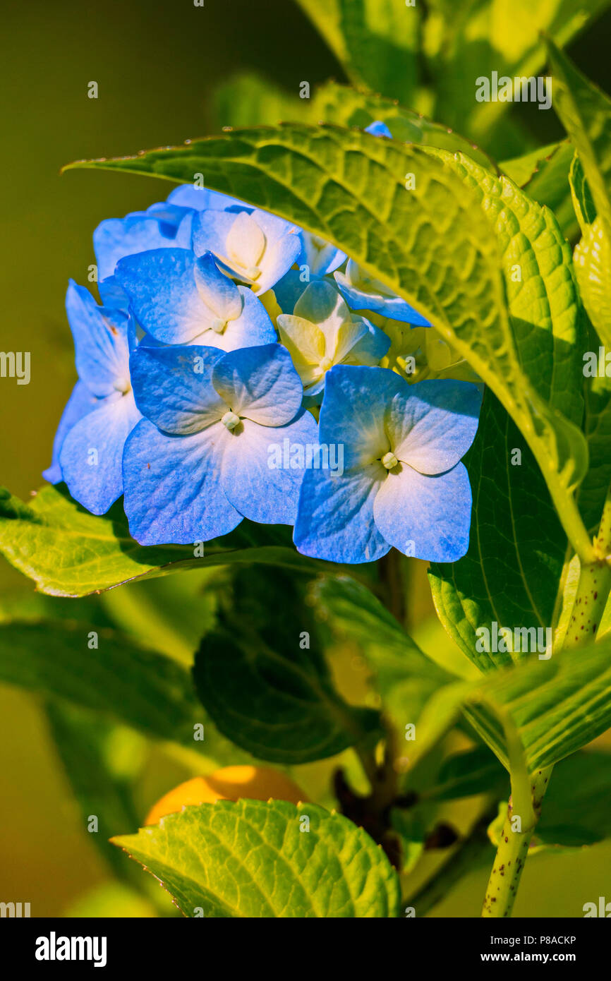 A stem with several blue flowers with white divorces and yellow medints . For your design - Stock Image