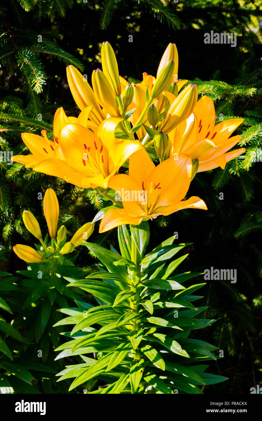 Magnificent yellow lilies on a green nature background with a high stalk and transparent leaves. . For your design - Stock Image