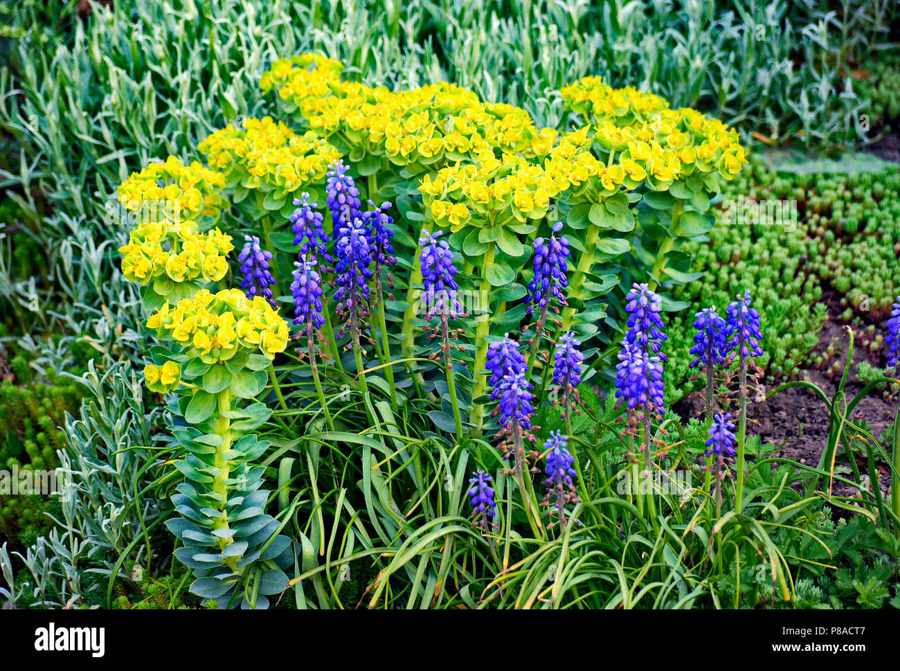 Yellow And Blue Flowers Among Green Leaves And Other Ornamental