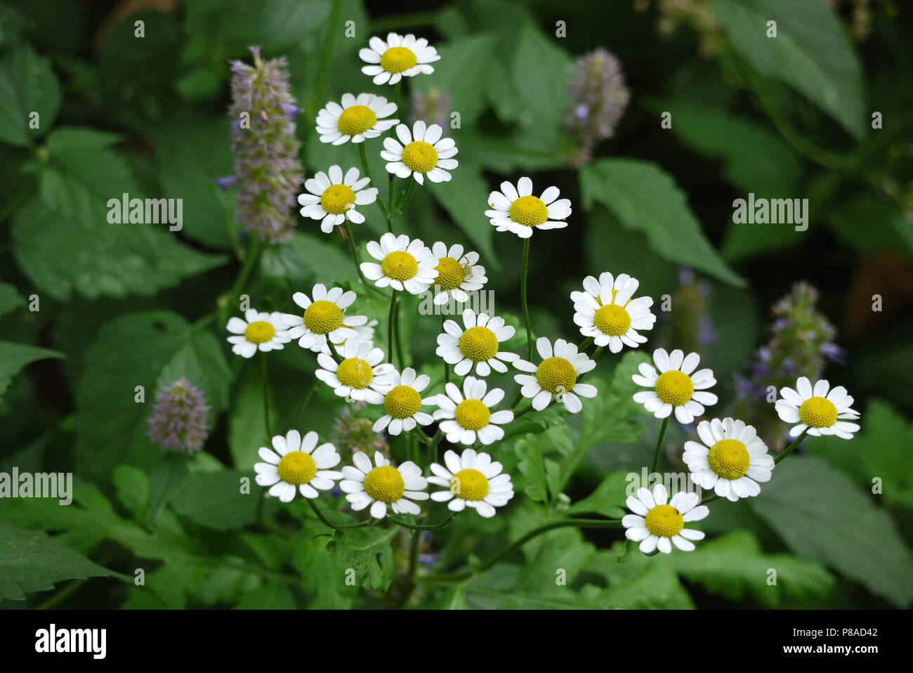 Fine beautiful white daisies with yellow cores on stems with green leaves . For your design - Stock Image