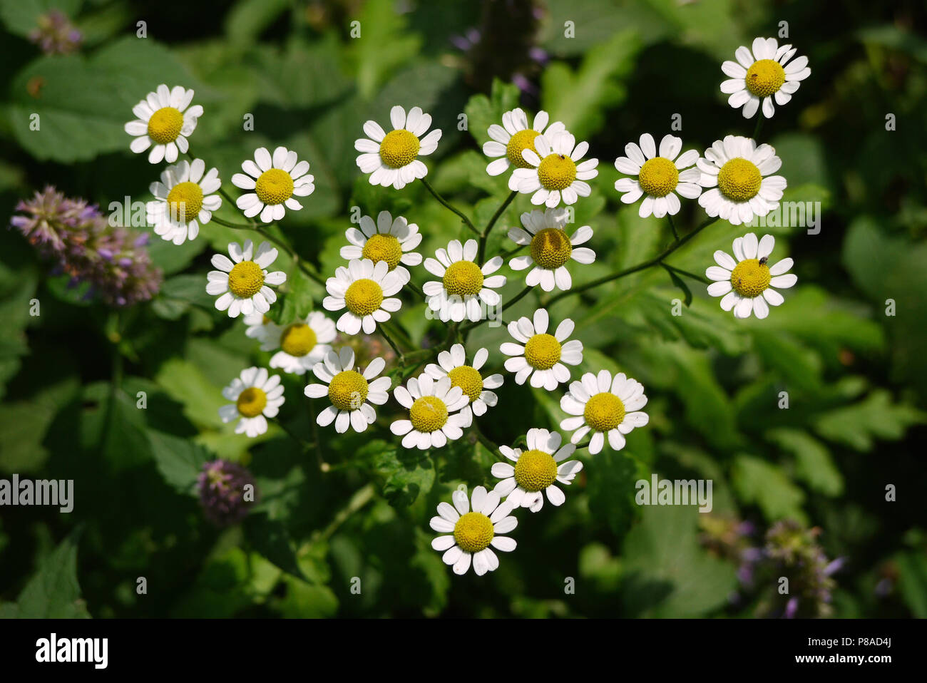 Branch With A Lot Of Small Daisy Flowers With White Petals And A
