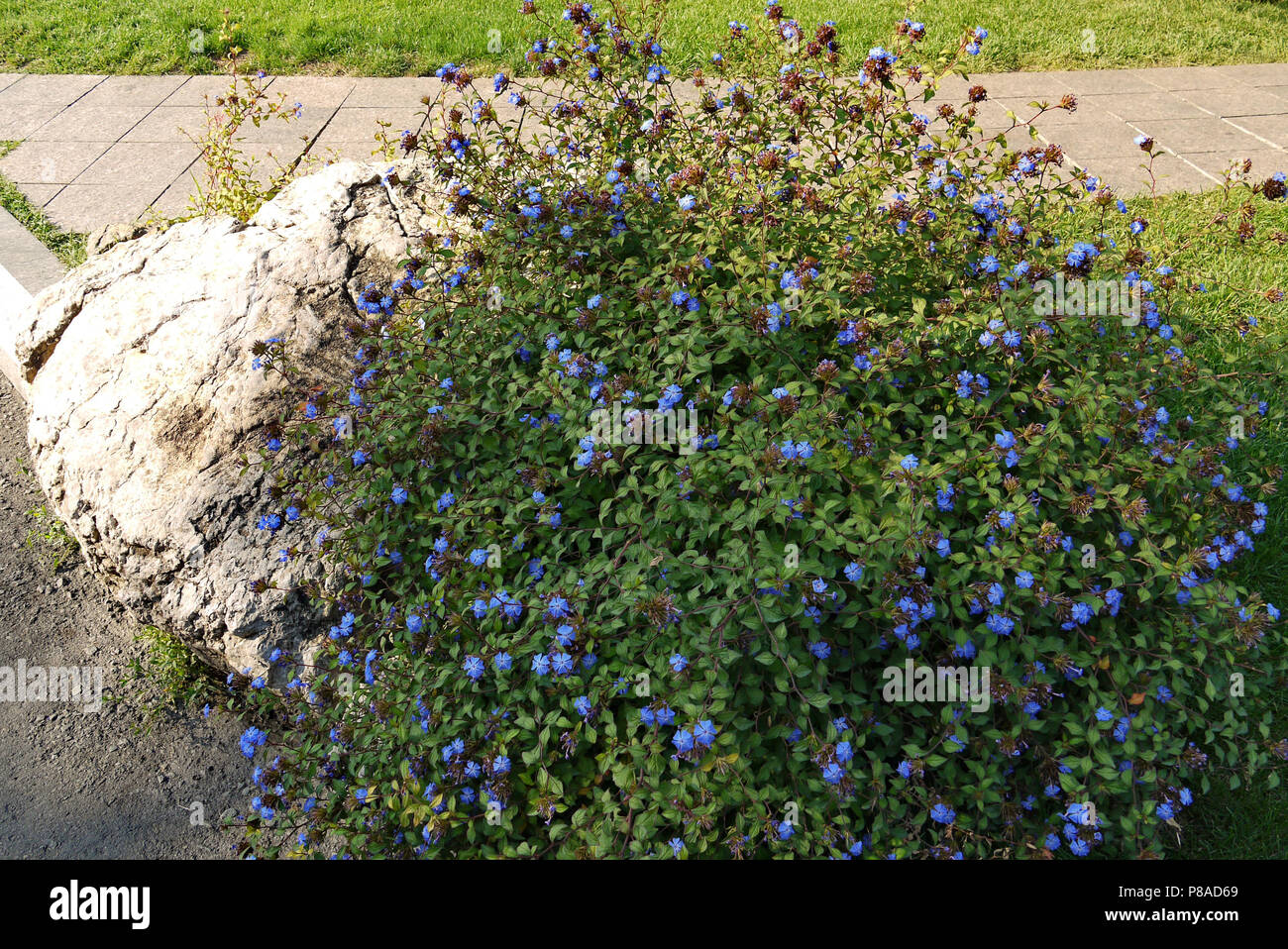 Shrub With Small Beautiful Blue Flowers And Green Leaves In The Rays Of The Summer Sun Grew On A Stone For Your Design Stock Photo Alamy