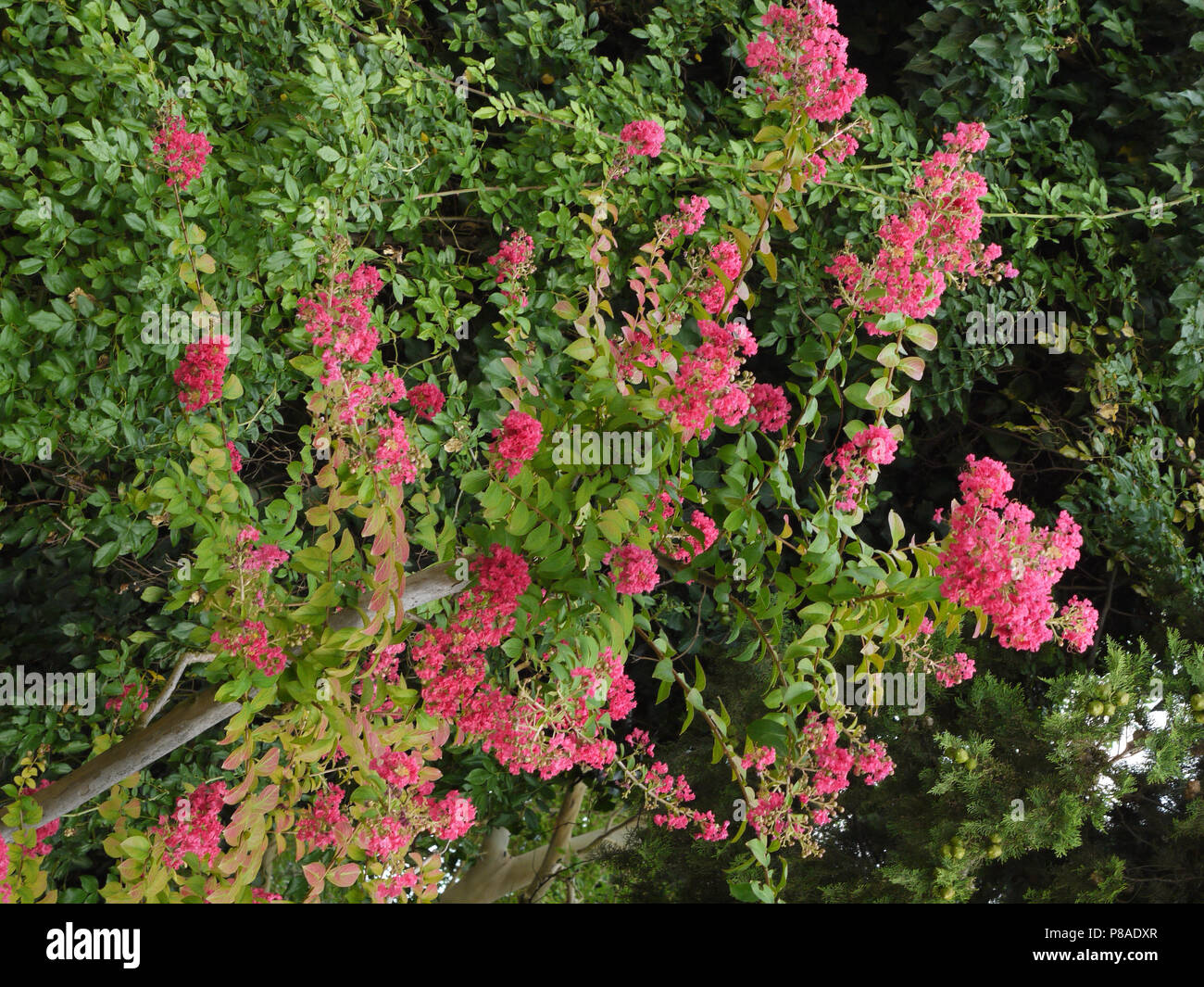 Pink flowers on bushes with small green leaves behind a wooden fence pink flowers on bushes with small green leaves behind a wooden fence for your design mightylinksfo