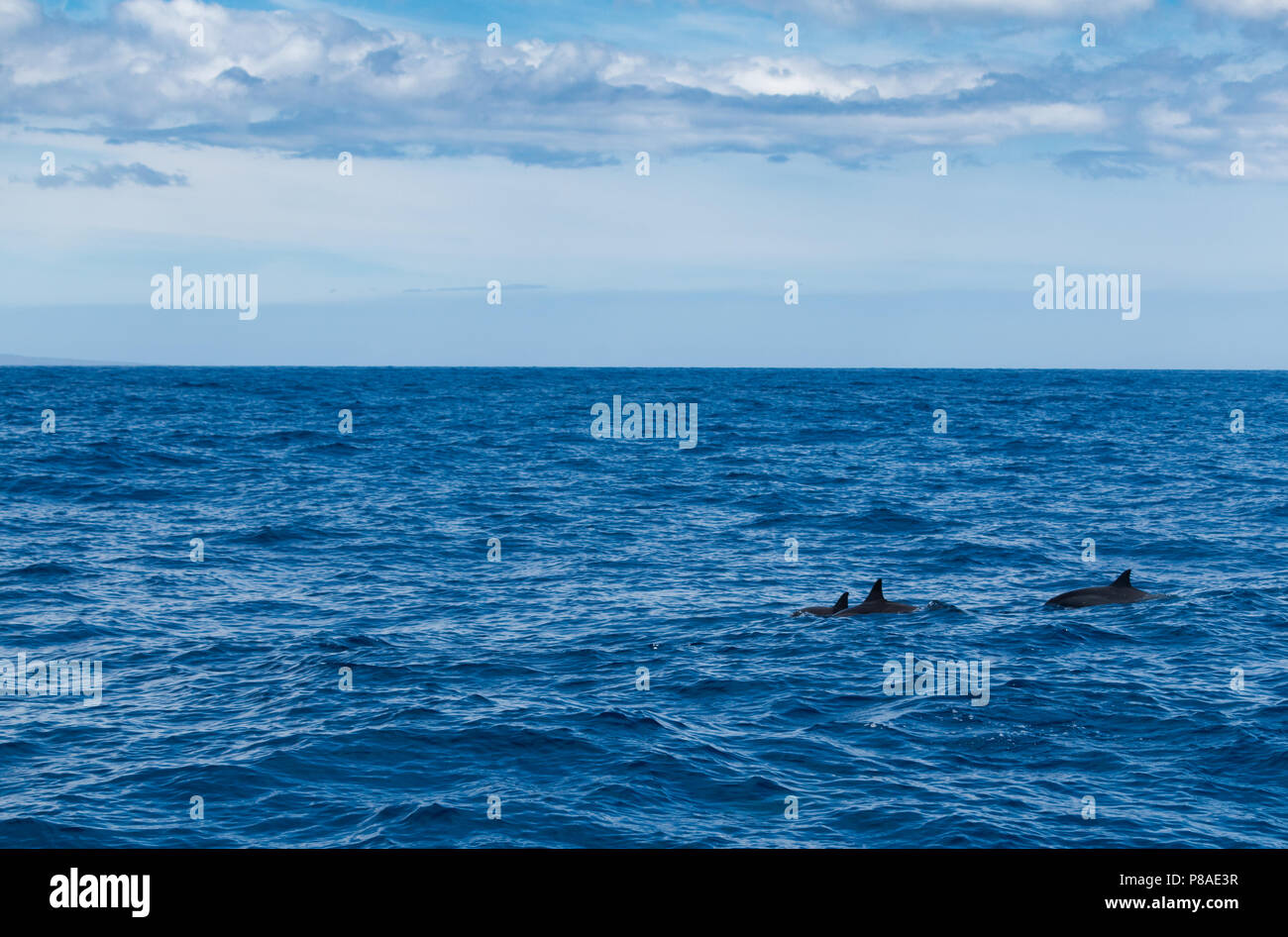 Wild Hawaiian Spinner dolphins, Stenella longirostris, swim freely off the coast of Lana'i. - Stock Image