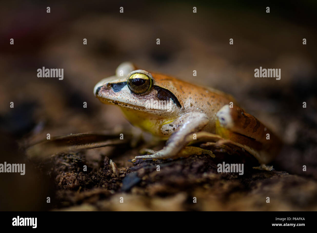 Madagascan Wood Frog - Aglyptodactylus madagascariensis, beautiful colored frog from Madagascar forests. - Stock Image