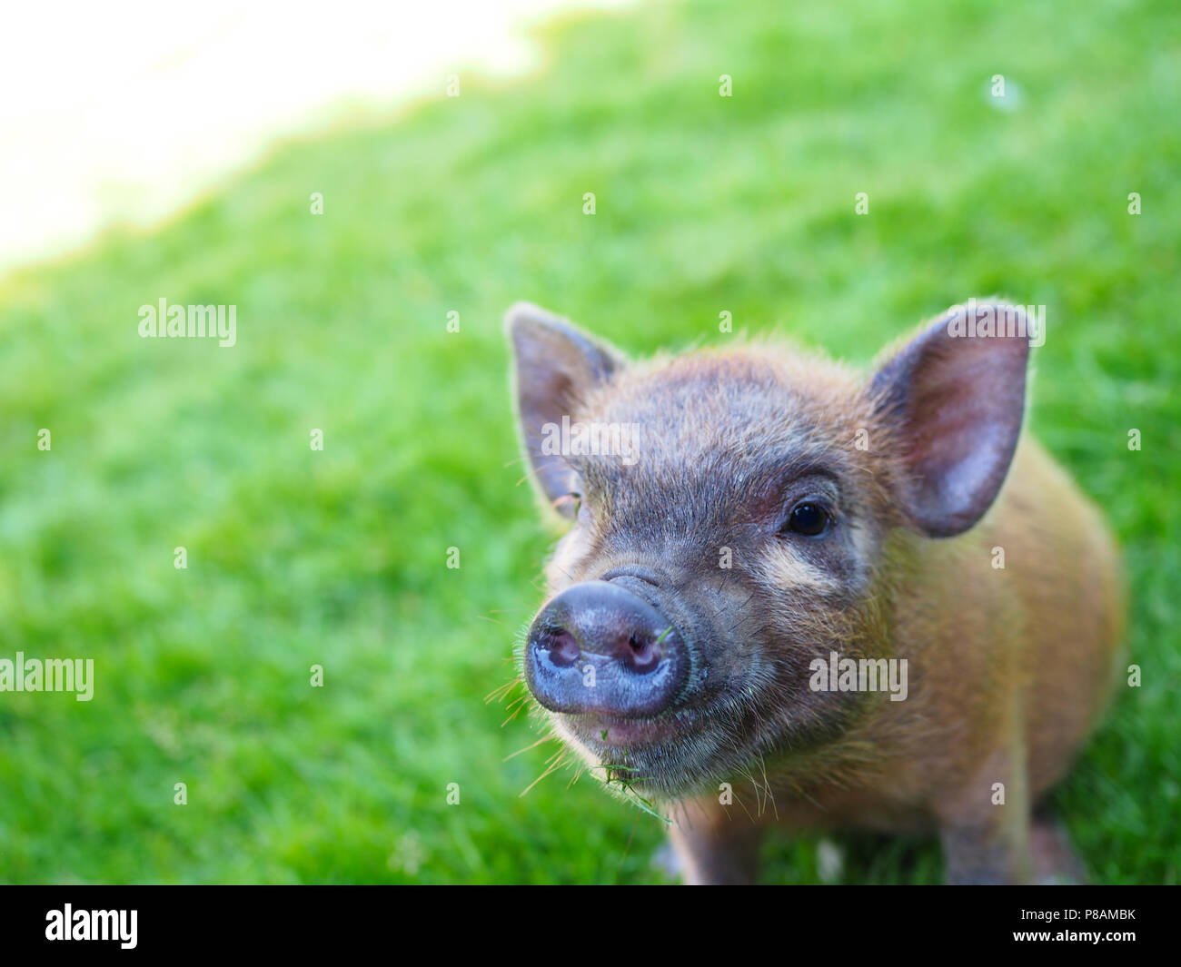 Micro Pig in a household setting - Stock Image