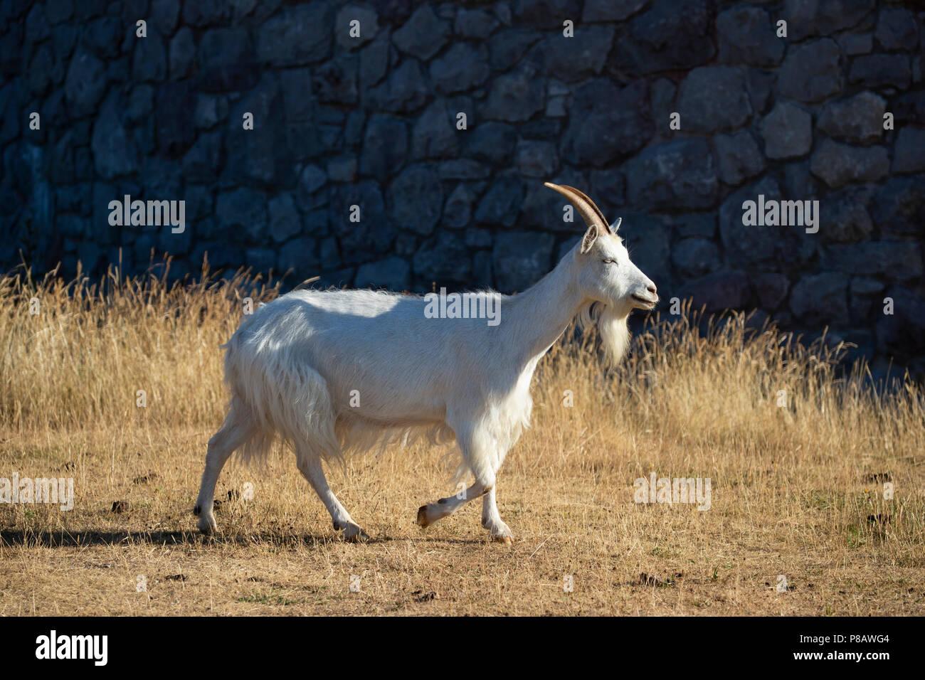 One Kashmiri goat Capra Markhor walking near the summit of the Great Orme headland in Llandudno. North Wales - Stock Image