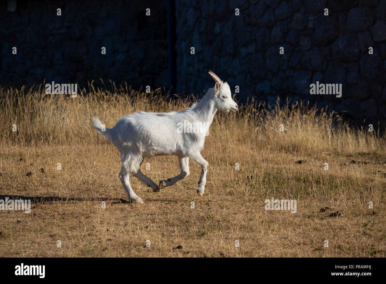 Young Great Orme Kashmiri Goat Capra Markhor trotting on the upper slopes of the Great Orme headland in Llandudno, North Wales - Stock Image