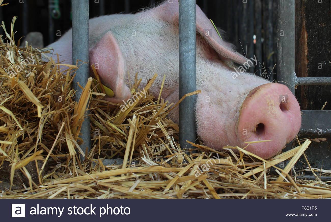 closeup of pigs asleep - Stock Image