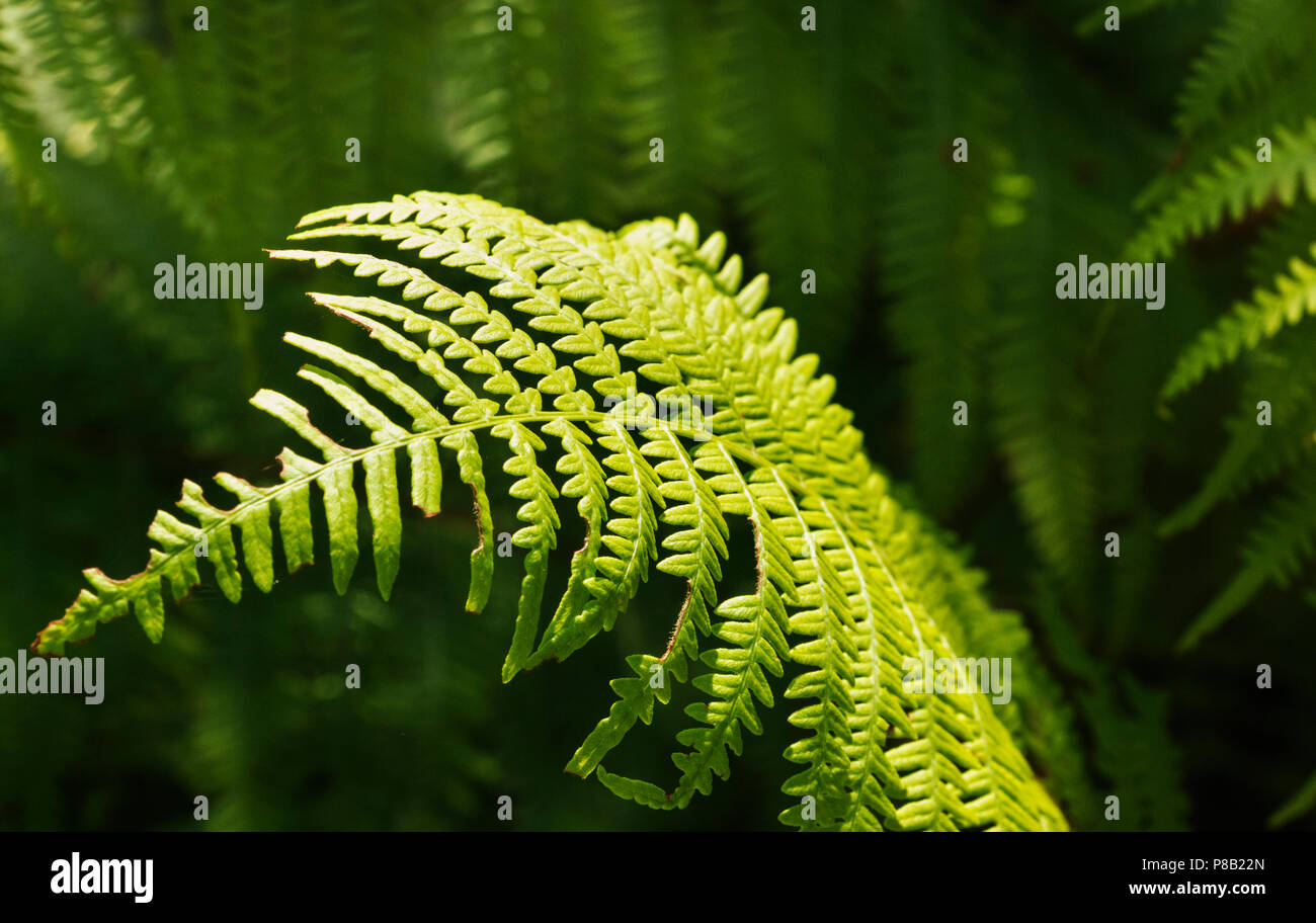 Small fern leaf lighted by the sun ,the background is out of focus and underexposed ,harmony in nature - Stock Image