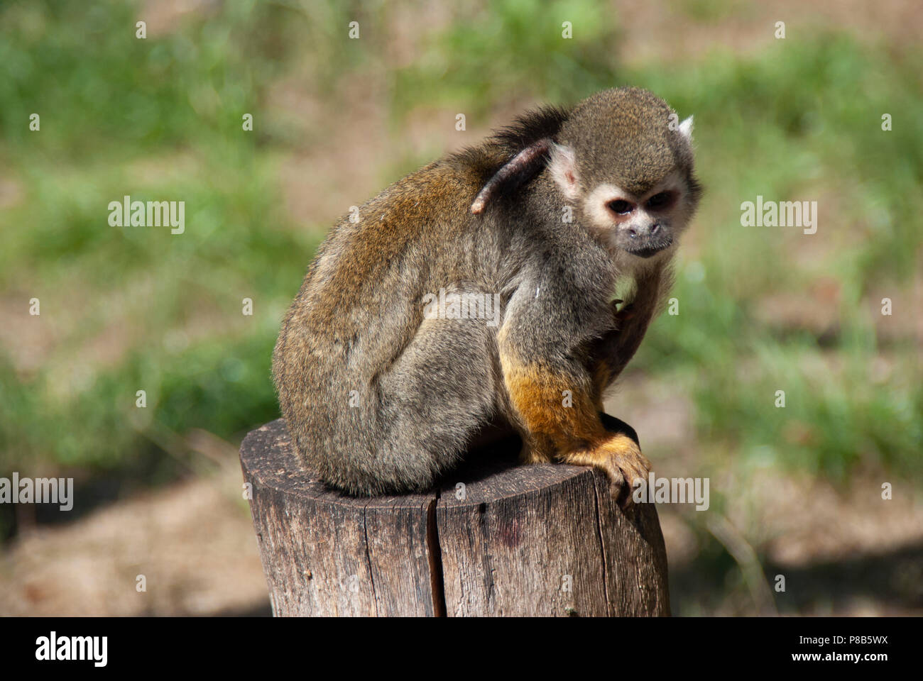Little cute Ape is watching me - Stock Image