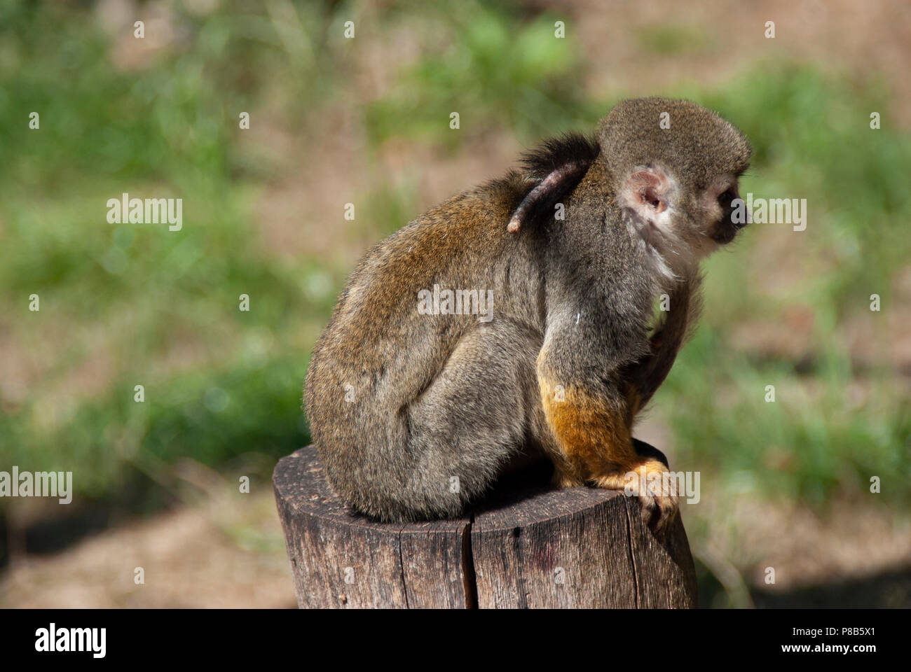 Little cute Ape is sitting on wood - Stock Image