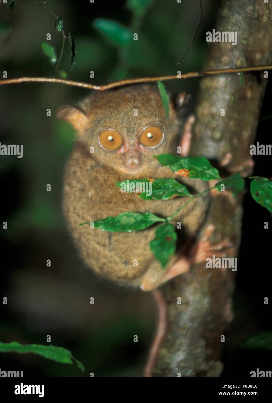 Tarsier: World smalles monkey in Sabah on Borneo Island - Stock Image