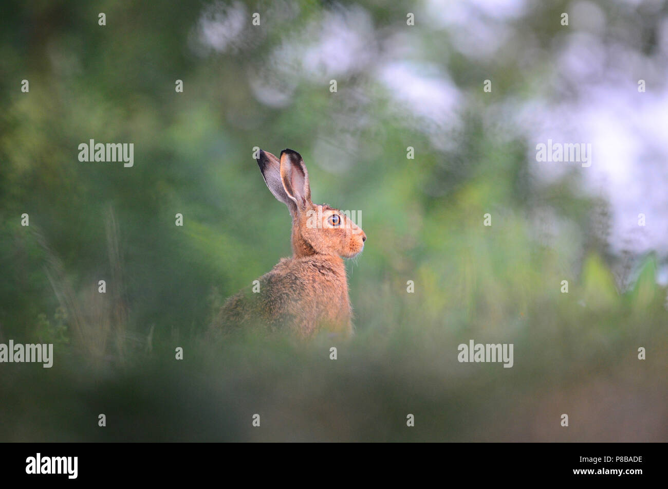 Hare in wilderness, easter holiday bunny rabbit jack rabbit - Stock Image