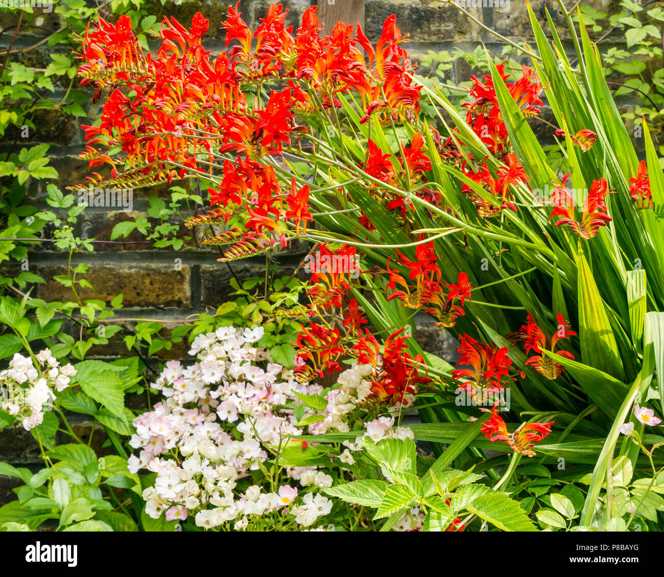 Flowers in bloom in London Summer garden with flame red Crocosmia Lucifer, Monbretia by brick wall,, England, UK Stock Photo