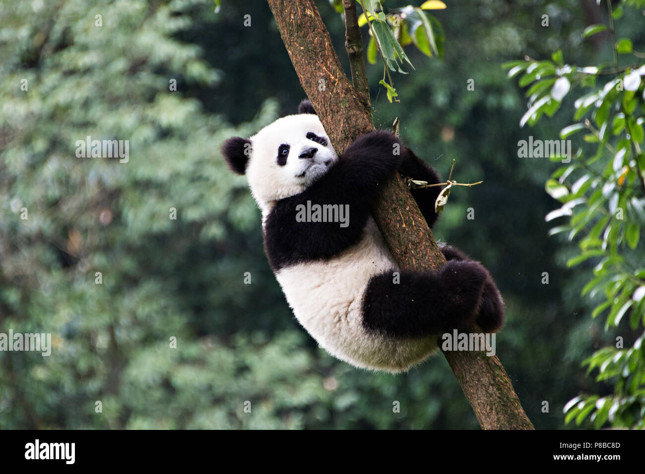 A portrait of a Giant Panda hugging a tree and facing the camera to pose at the Chengdu breeding centre, Chengdu, China - Stock Image