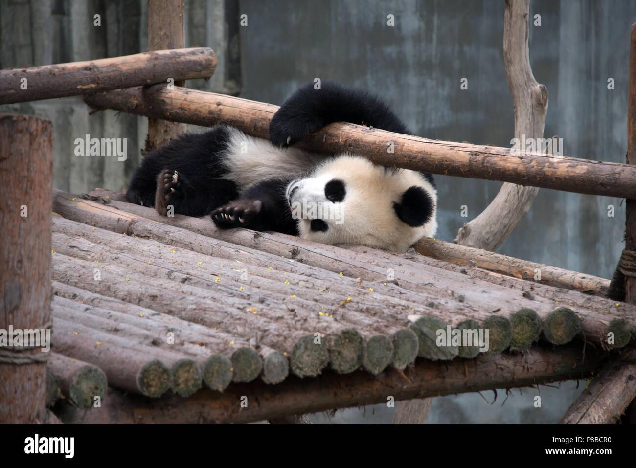 Giant Pandas at the Chengdu breeding centre - Stock Image