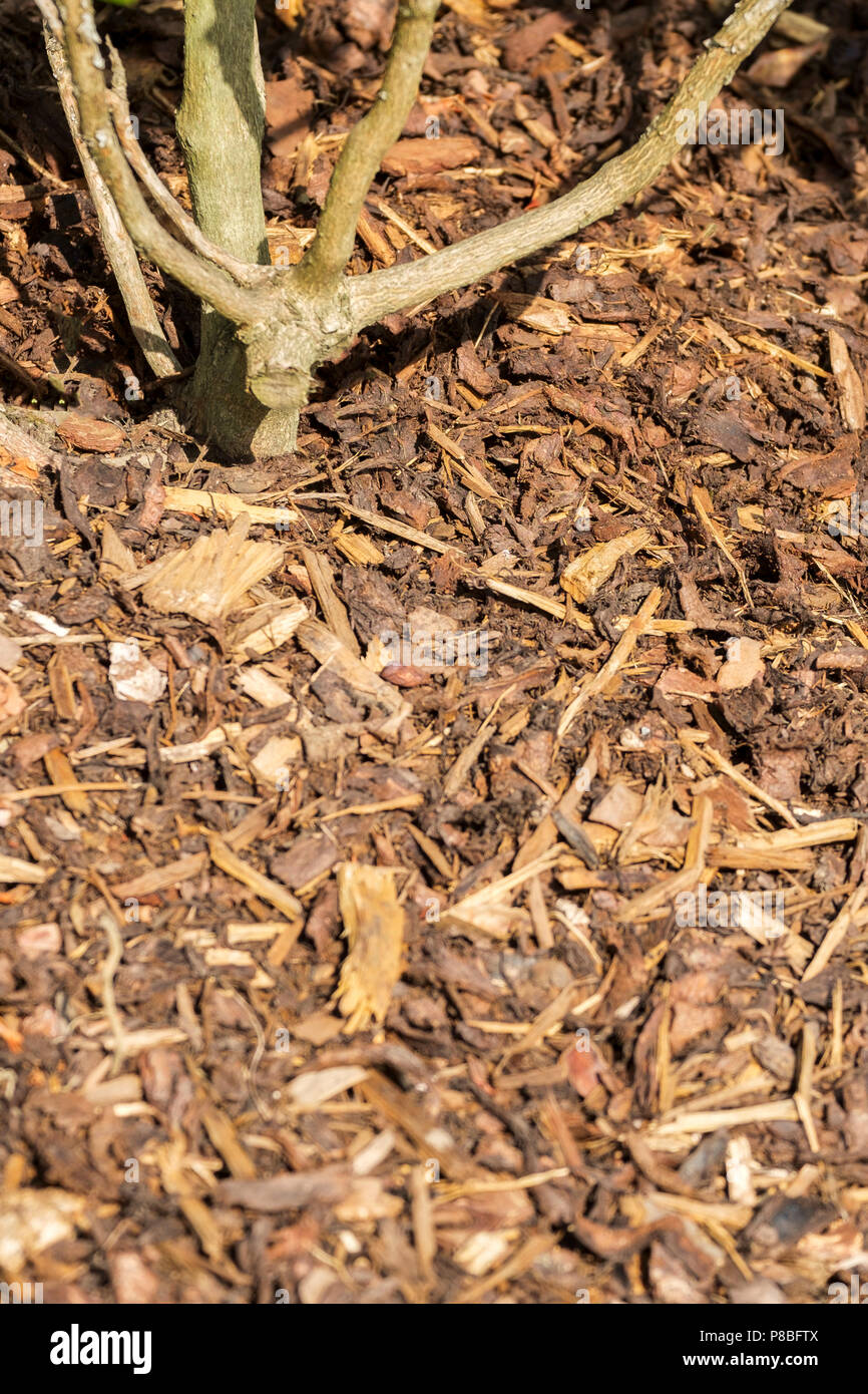Garden landscaping shredded bark around the stem of a shrub - Stock Image