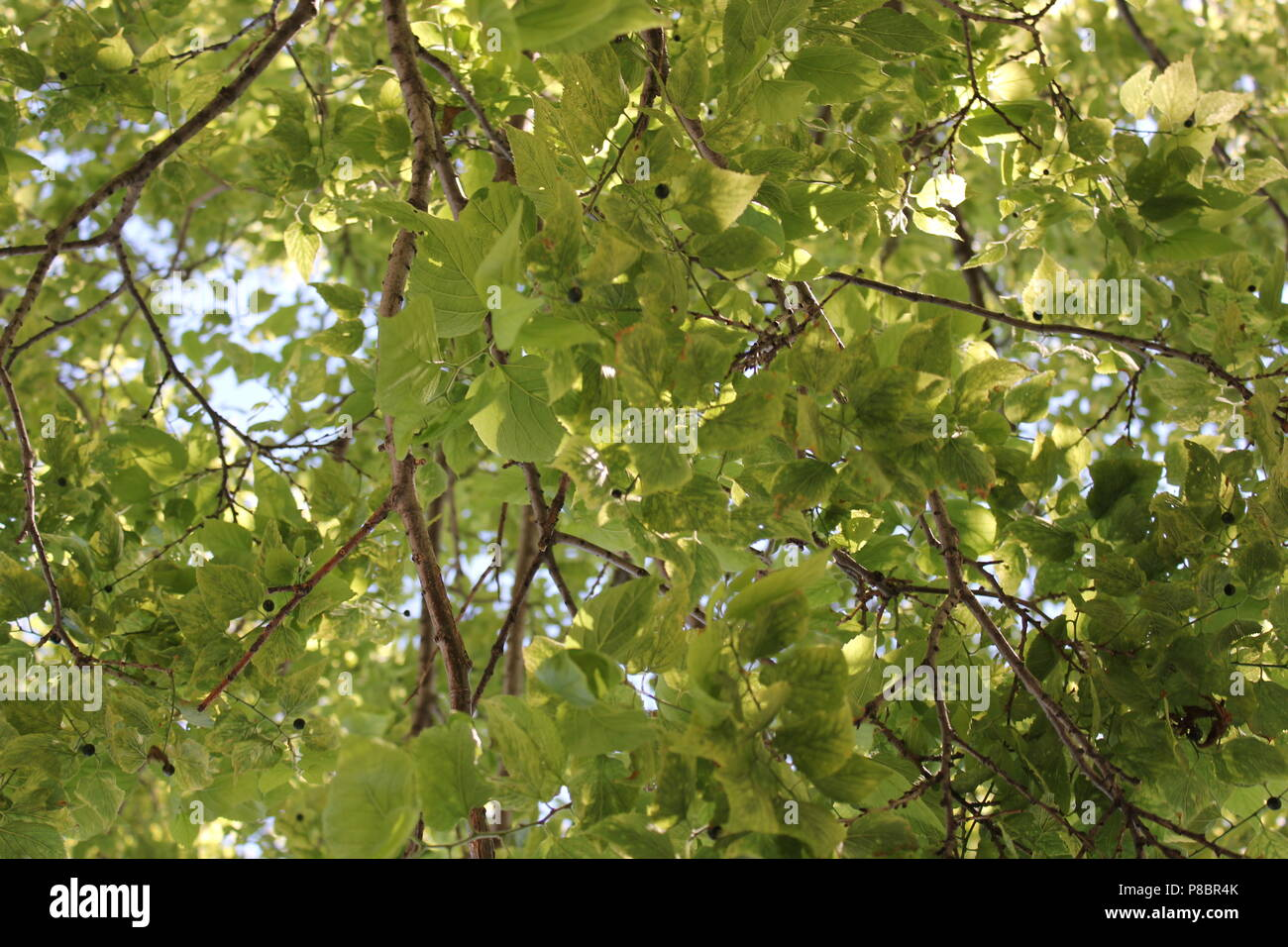 Looking up at a leafy tree at the Northwestern University's landfill park in Evanston, Illinois on a bright sunny summer day. - Stock Image
