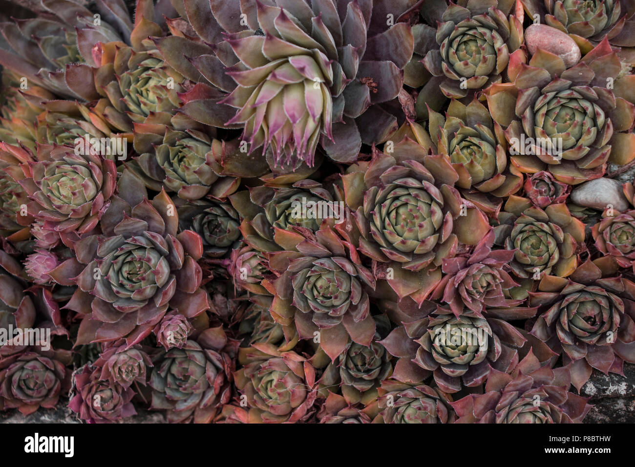 many reddish succulents - Stock Image