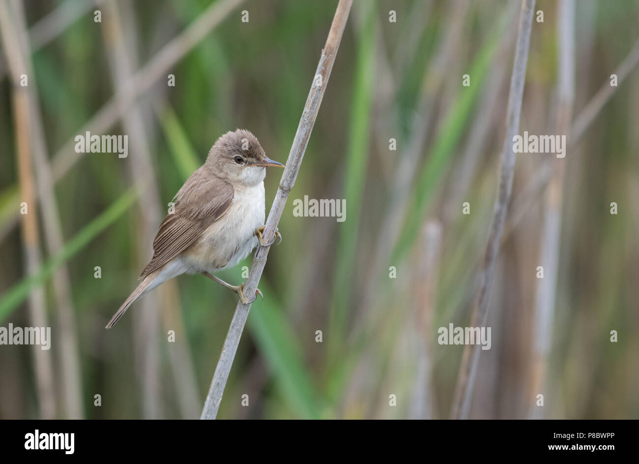 Reed Warbler Acrocephalus Scirpaceus Uk Stock Photo Alamy