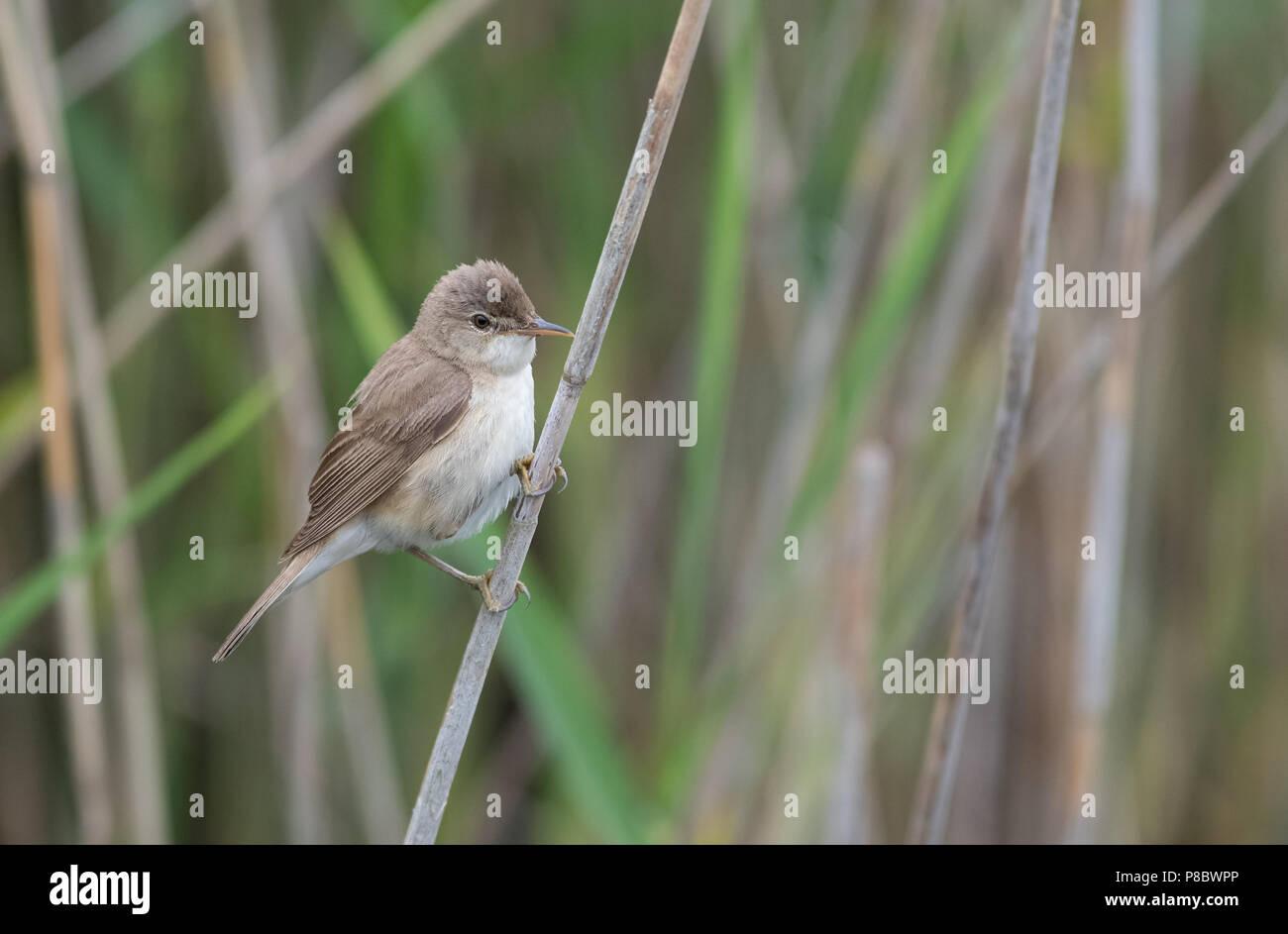 Reed Warbler Acrocephalus Scirpaceus Uk Stock Photo Alamy