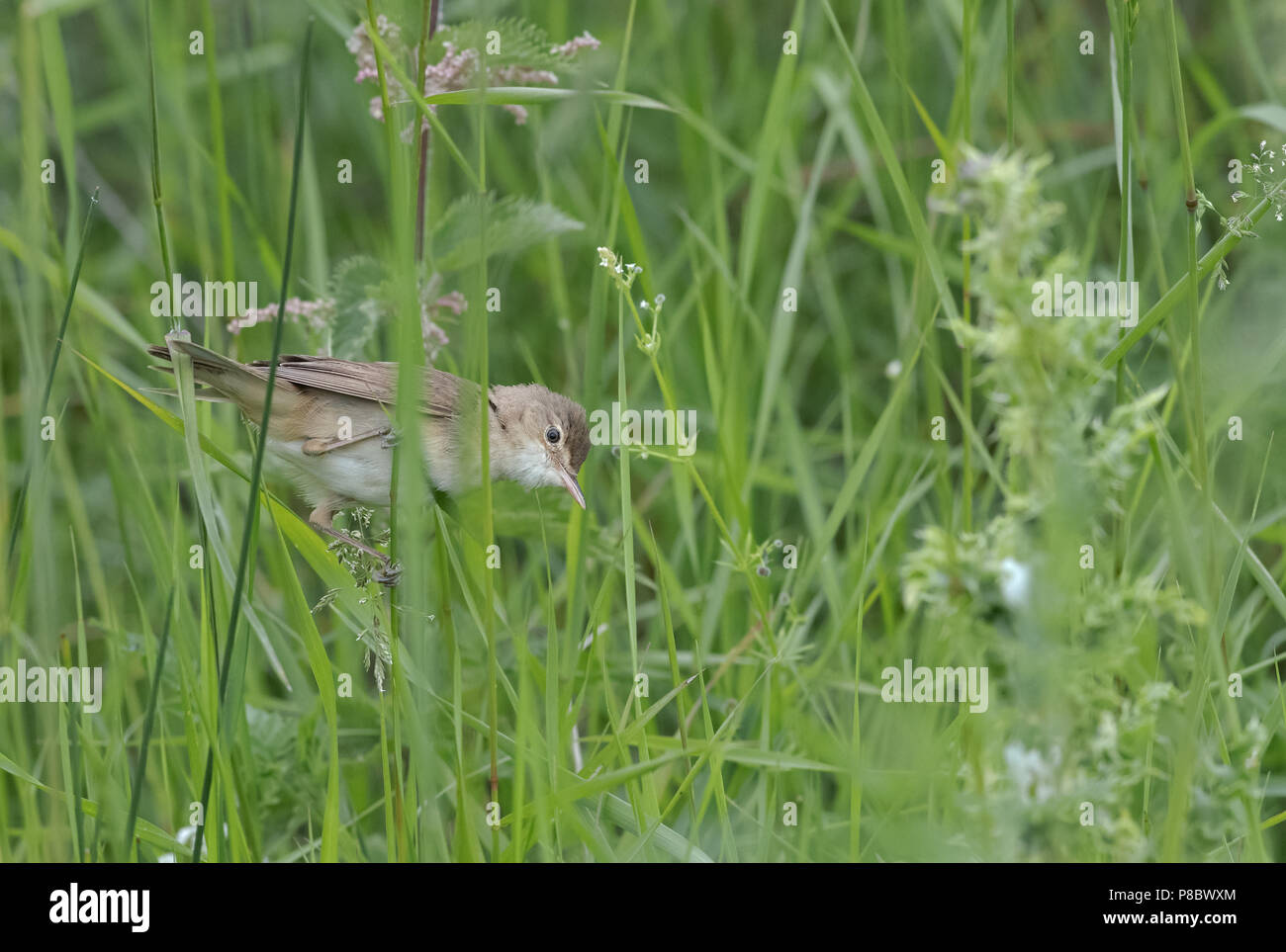 Reed Warbler-Acrocephalus scirpaceus searches for food. Uk - Stock Image