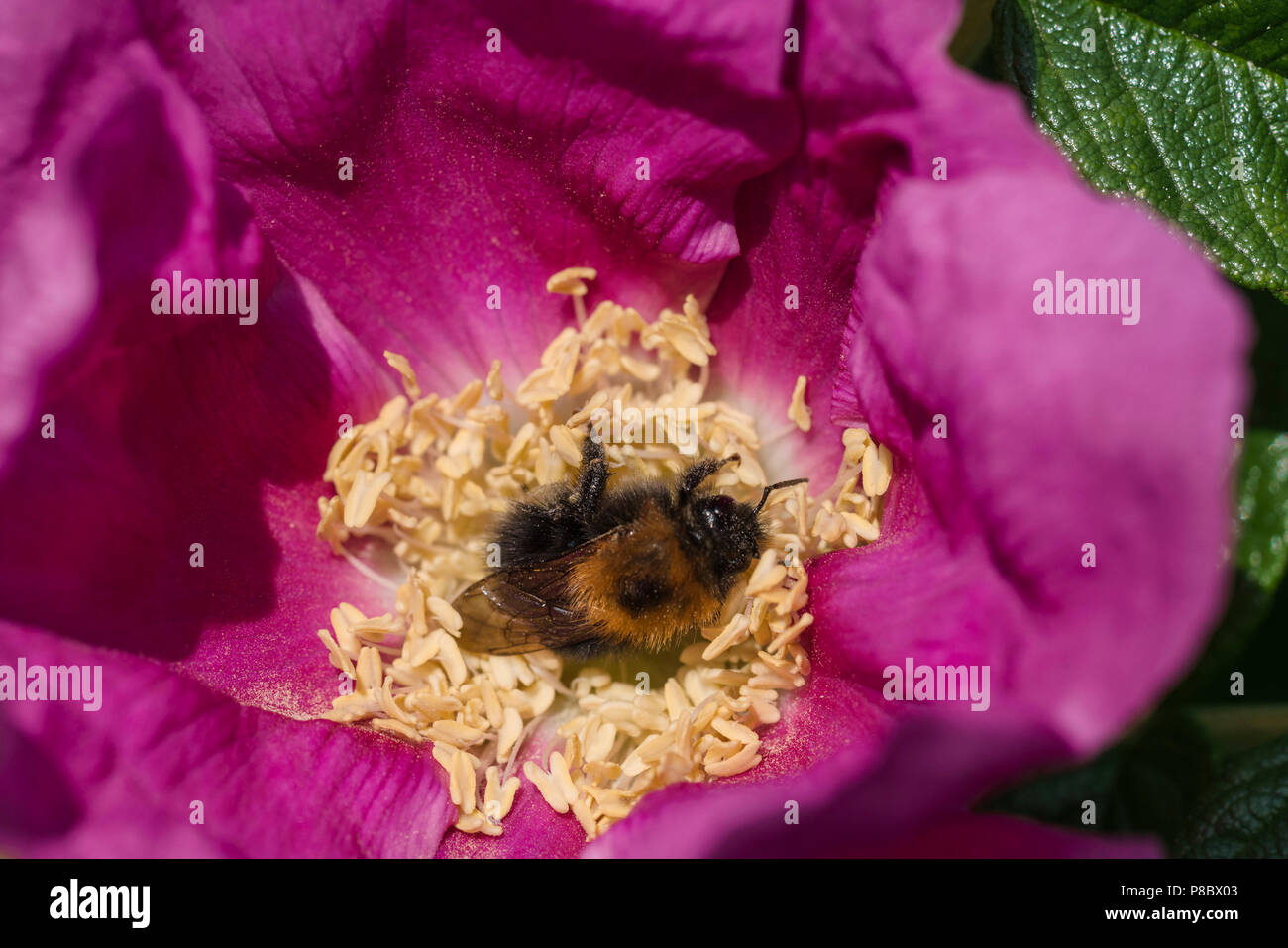 Bee in a rose gathering pollen - not feeding on nectar, rolling itself repeatedly in the pollen-bearing anthers of the flower. - Stock Image