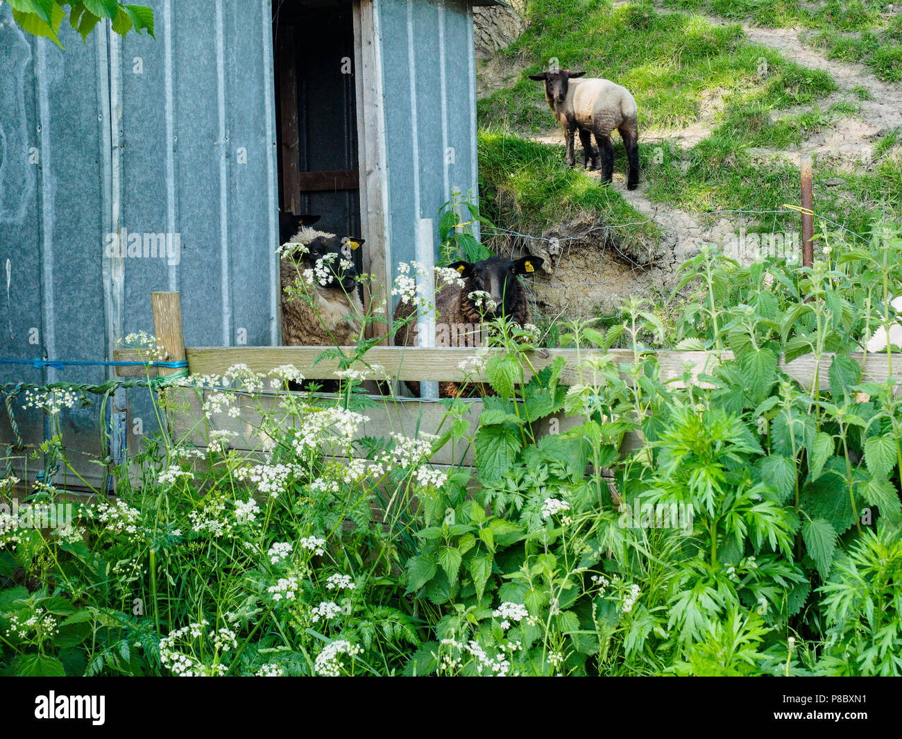 Sheep looking at camera as they leave their shed, Soby, Aero, Denmark, Europe. - Stock Image