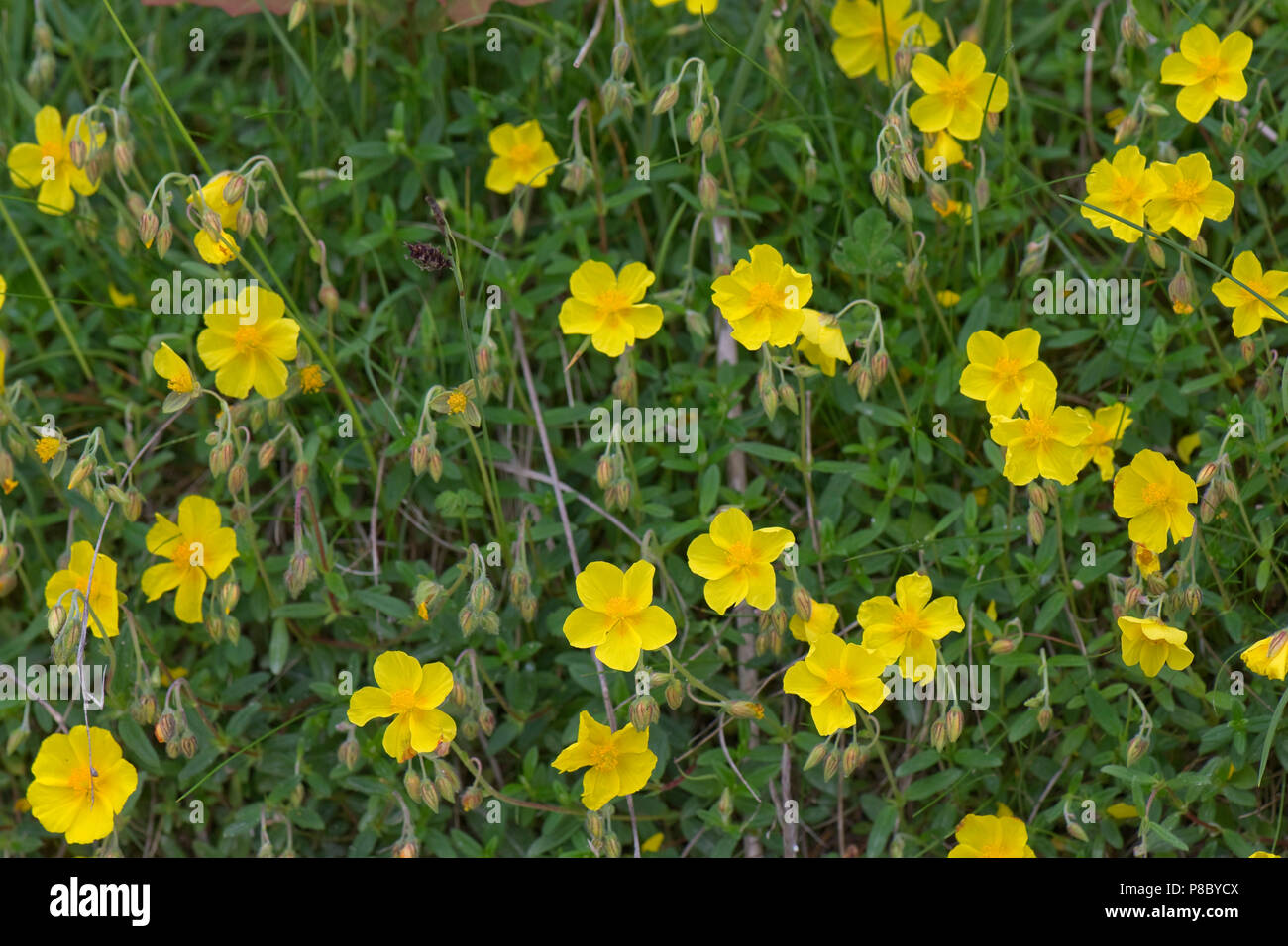 Common rock-rose, Helianthemum nummularium, yellow flowers flowering on chalk downland soil, June - Stock Image