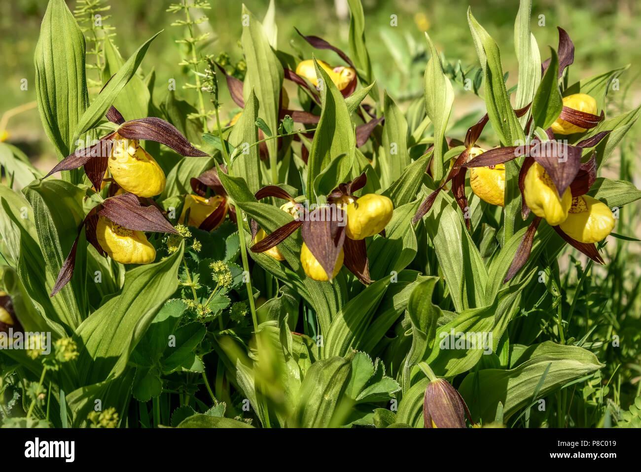 Beautiful Bush Of Rare Yellow Flowers Of Venus Slipper Cypripedium