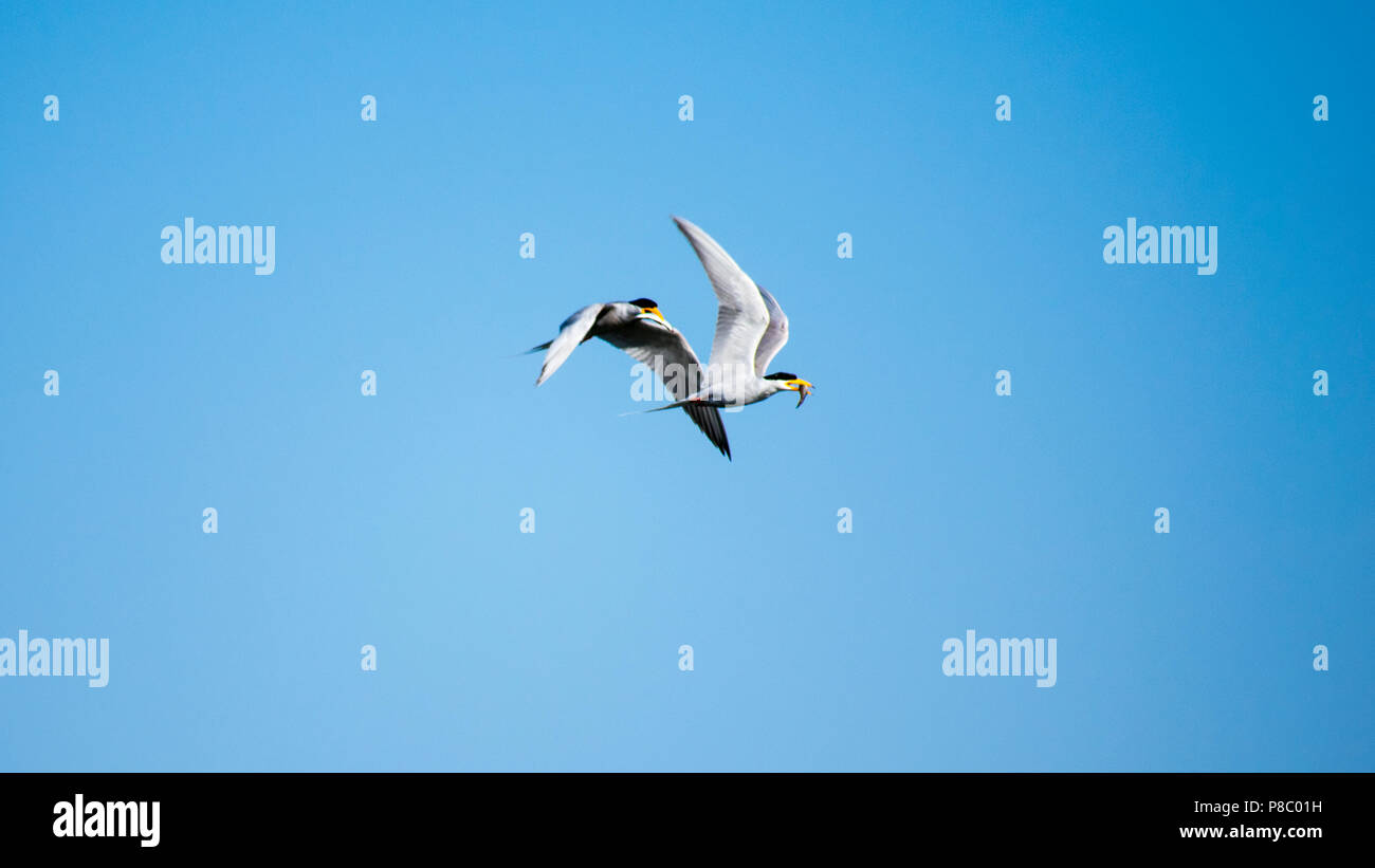 Two river tern birds fight for fish while flying - Stock Image