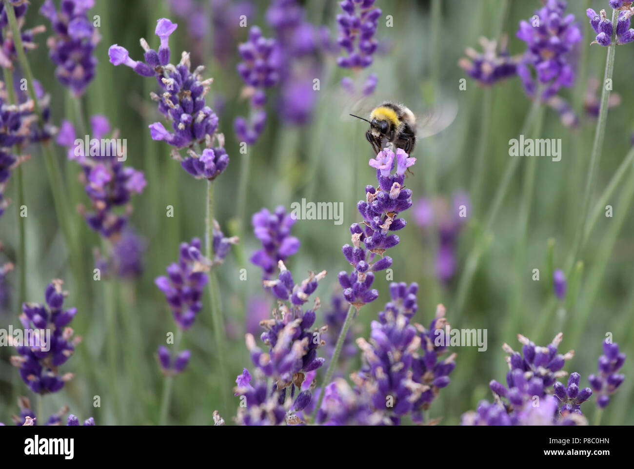 Berlin, Germany, Dark bumblebee collects nectar from a lavender flower - Stock Image